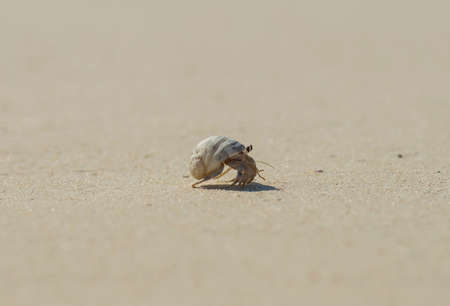 Small hermit crab walking across remote tropical sandy beach