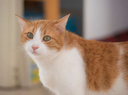 Closeup of ugly domestic ginger tabby house cat felis catus with offset eyes indoor at home