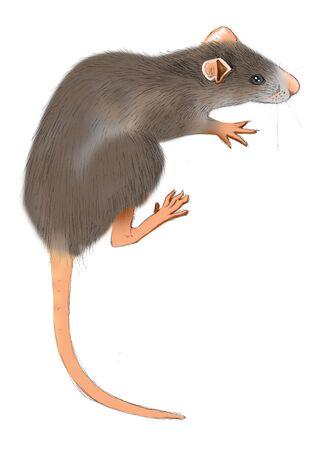 쥐 (Rattus norvegicus)