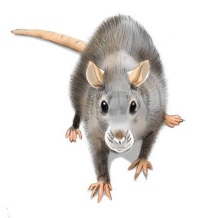 Rat (Rattus norvegicus)