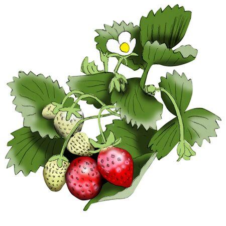 strawberry 矢量图像