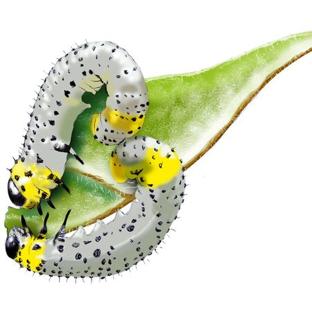 Caterpillar (Nematus ribesii or Pteronidea ribesii) Illustration