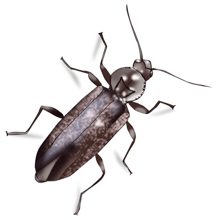 곤충, 롱혼 (Hylotrupes bajulus) 그림입니다. 흰색 배경에 고립. 일러스트