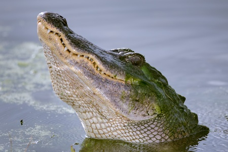 growl: A close-up view of an American Alligator  Alligator mississippiensis  during a courtship growl   Shot at Brazos Bend State Park, Needville, Texas   Needville is located southwest of Houston