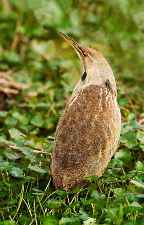 bayou swamp: American Bittern  Botaurus lentiginosus    Shot at Brazos Bend State Park near Houston, Texas   Created by stitching together four frames resulting in extra large image