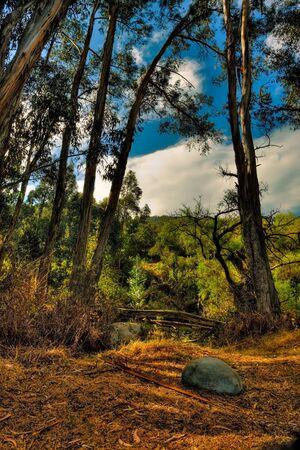 Eucalyptus Stand HDR, R�o Yanuncay, Cuenca, Ecuador