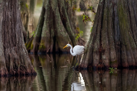 Great Egret  Ardea alba  framed by huge trunks of Cypress tress on Lake Martin, Breaux Bridge, Louisiana