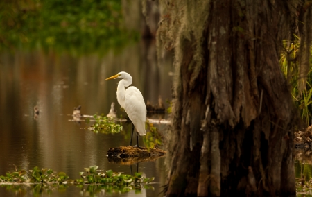 bayou swamp: Great Egret at Lake Martin