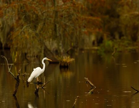 Great Egret  Ardea alba  posing on a stump in Lake Martin swamp, Breaux Bridge, Louisiana in the heart of Cajun Country