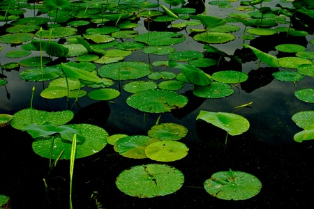 waterscape: Lily pads on dark water   Shot at Brazos Bend State Park, near Houston, Texas