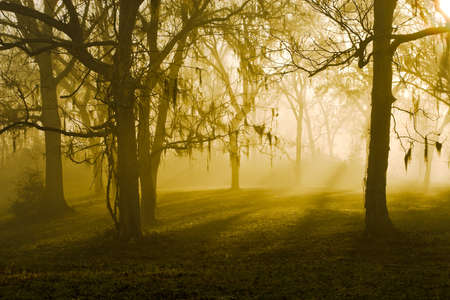 Sunbeams breaking through a stand of oak trees   Shot at Brazos Bend State Park, near Houston, Texas  Zdjęcie Seryjne