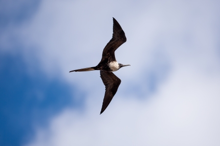 A female frigatebird  Fregata magnificens  in flight   Taken at Playas, Ecuador