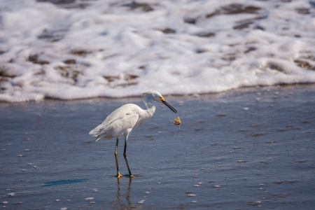 A Snowy Egret  Egretta thula  drops a large sand crab it had captured to eat   Taken near Playas, Ecuador