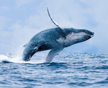 baleia: Uma baleia de rompimento