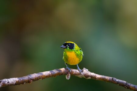 A male Green-and-Gold Tanager (Tangara schrankii) shot in a tropical rain forest near Zamora, Ecuador.