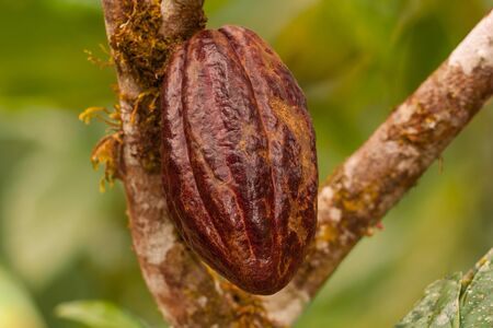 The fruit of the cacao  Theobroma cacao hanging in the tree Ecuador.