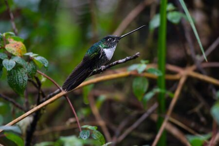 A Collared Inca Coeligena torquata hummingbird in the Tapichalaca Reserve in the Andes mountains near Vilcabamba Ecuador. Zdjęcie Seryjne