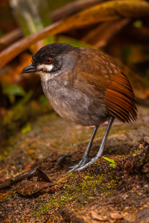 A Jocotoco Antpitta Grallaria ridgelyi on the forest floor of Tapichalaca Reserve in the Andes mountains south of Vilcabamba Ecuador. Zdjęcie Seryjne