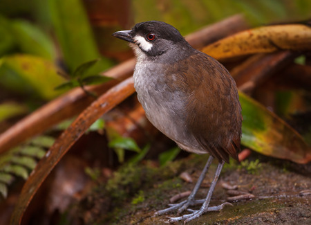 A Jocotoco Antpitta Grallaria ridgleyi on the forest floor of the Tapichalaca Reserve a cloud forest in the Andes mountains near Vilcabamba Ecuador.