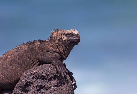 A male Marine Iguana Amblyrhynchus cristatus albemarlensis sunning itself on a lava rock on Isla Isabela Galapagos Ecuador.