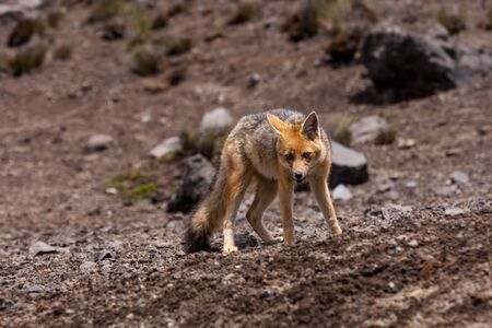 animal shot: The Andean Fox Lycalopex culpaeus also known as Culpeo Zorro Culpeo or Andean Wolf.  This is a young animal and was shot in Chimborazo National Park at about 4800 meters high in the Andes mountains of Ecuador.