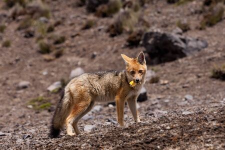 The Andean Fox Lycalopex culpaeus also known as Culpeo Zorro Culpeo or Andean Wolf.  This is a young animal in Chimborazo National Park 4800 meters high in the Andes mountains of Ecuador.