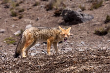 Andean Fox Lycalopex culpaeus also known as Culpeo.  Shot beneath the Chimborazo volcano Ecuador.