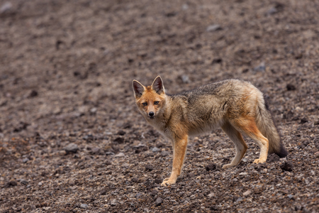 The Andean Fox Lycalopex culpaeus also known as Culpeo Zorro Culpeo or Andean Wolf.  This is a young animal and was shot in Chimborazo National Park at about 4800 meters high in the Andes mountains of Ecuador.