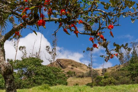 erythrina: Andean peak framed by the coral flower tree Erythrina sp. in the Yunguilla Valley near Giron Ecuador south of Cuenca. Stock Photo