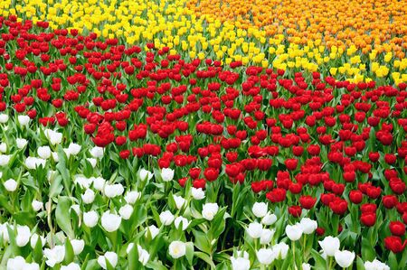 Tulip Field of white, red, yello color photo