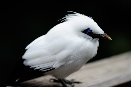 White fat cute Magpie standing. Stock Photo - 16832012