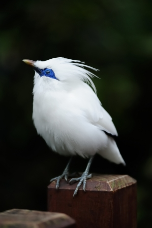 White fat cute Magpie standing. photo
