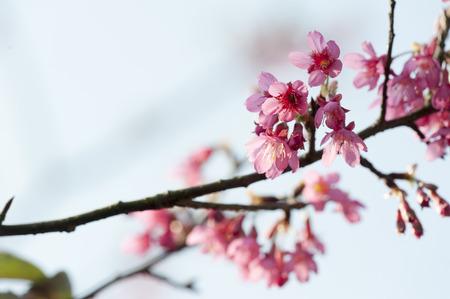 blossom tree: A Branch of Prunus campanulata