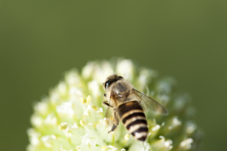 bee on white flower: Bee is busy working on a flower