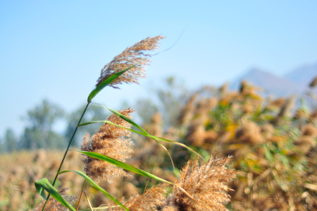 common reed: A large group of common reed close up