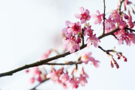 A Branch of Prunus campanulata