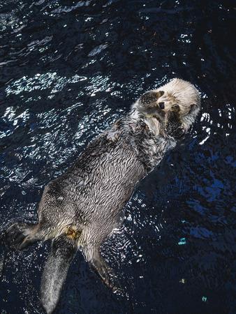 Big otter swims on back in lisbon oceanarium. Stock Photo