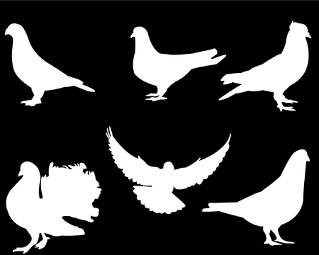 white pigeon collection on black background  Vector