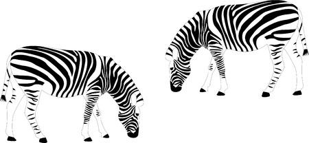 zebras - vector Stock Vector - 8489943