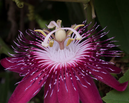 Close up of a passionflower