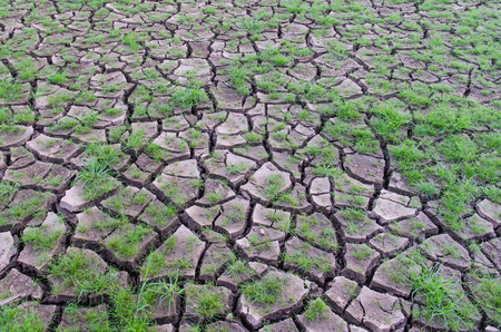 Dehydrated earth or farmland with corn plant struggling for life in dry cracked earth. Environmental background, agriculture. Stock Photo