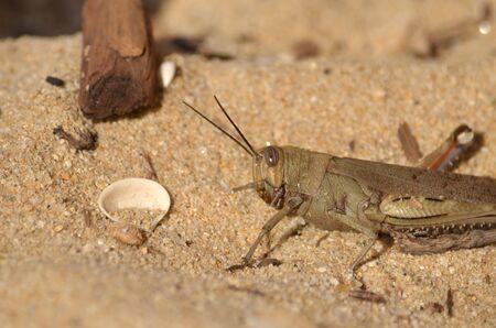 Grasshopper on sand Stock Photo