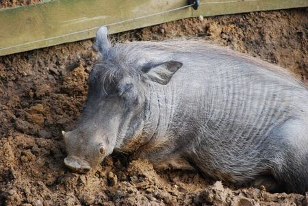 wallowing: Warthog in mud