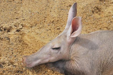 Head of aardvark asleep