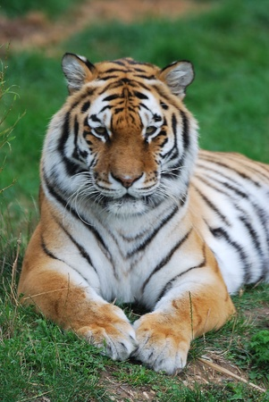 the amur: siberian tiger Stock Photo
