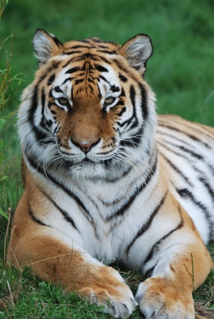 the amur: Amur tiger watching