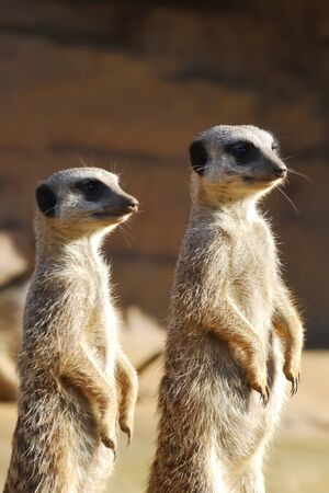 sentry: Two meerkats standing on guard Stock Photo