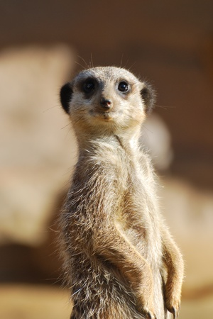 meerkat looking at camera photo