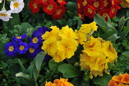 Multicolored pansies in border photo