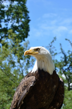 american eagle in forest photo